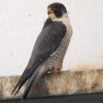 Peregrine Falcon – Paula Sullivan 4/3/2006 Wilson Bridge, Alexandria, Virginia