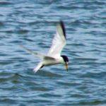 Least Tern – Larry Meade 8/12/2004 Hatteras, NC