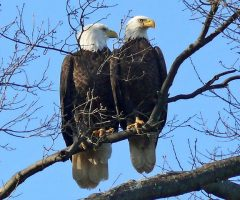 Bald Eagles Larry Meade 1 2012   Pohick Bay, VA