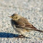American Pipit – Marc Ribaudo 12/2009 – Occoquan Bay NWR