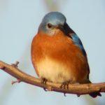Eastern Bluebird – Marc Ribaudo 12/24/2007 – Occoquan Bay NWR