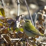 Tennessee Warbler – Dixie Sommers – 1/27/2013 Mt. Vernon Trail