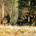 Wild Turkeys – Dorothy Tella 1/10/2010 McLean, VA