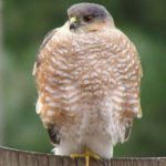 Cooper's Hawk – Dixie Sommers – 1/27/2013 Mt. Vernon Trail