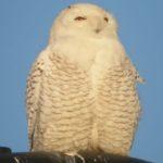 Snowy Owl – Sharon Lynn 1/27/2006 Dulles Airport