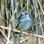 White-crowned Sparrow – Larry Meade 1/16/2005 Craney Island