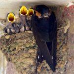 Barn Swallows – Paula Sullivan 7/4/2007 Ben Brenman Park Alexandria, VA