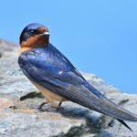 Barn Swallow – Seth Honig 6/5/2014 Green Spring Gardens