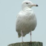 Glaucous Gull – Glenn Koppel 6/2009 Oyster, Virginia
