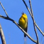 Prothonotary Warbler – Marc Ribaudo 6/10/2007 Leesylvania State Park