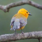 Prothonotory Warbler – Larry Meade 6/10/2006 Rappahanock NWR