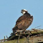 Osprey – Larry Meade 3/19/2005 Occoquan Bay