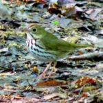 Ovenbird – Larry Meade 05/1/2005 Monticello Park, Alexandria, VA