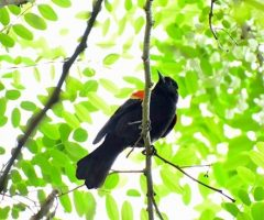 Redwing Blackbird Seth Honig, 5/14/2014, Mantua, Fairfax VA
