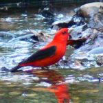 Scarlet Tanager – Larry Meade 5/5/2006 Monticello Park, Alexandria