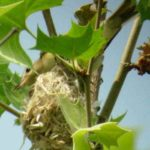 Warbling Vireo On Nest – Russ Taylor 5/14/2005 Occoquan NWR