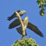 Missippi Kites -Seth Honig 8/22/16 17th & Utah Streets, N. Arlington, VA