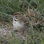 Lark Sparrow – Dixie Sommers 10/31/2015 Bristow Station Battlefield