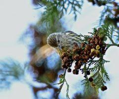 Pine Siskin, Seth Honig Nov 2015 Virginia State Arboretum (Blandy Farm).