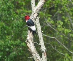 Red Headed Woodpecker Marv Rubin May 1, 2017 Chincoteague, VA