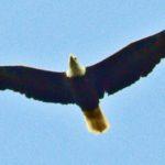 Bald Eagle – Larry Meade 9/9/2006 Banshee Reeks