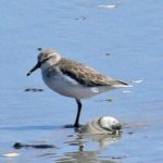 Western Sandpiper – Larry Meade 9/17/2006 Wreck Island, VA