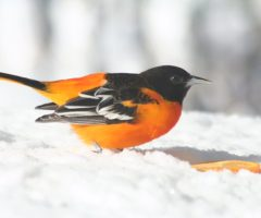 Baltimore Oriole By Sally Knight On  Feb 2010 In Her Own Backyard, Stafford, VA
