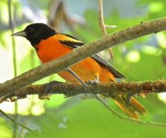 Baltimore Oriole - Seth Honig 6/2014 Accotink Trail, VA