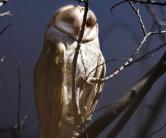 Barn Owl Moonlit David Boltz