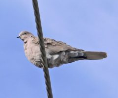 Eurasian Collared Dove Larry Meade