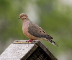 Mourning Dove David Boltz