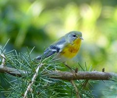 Northern Parula Sally Knight 9 10 2016  Backyard, Stafford, VA