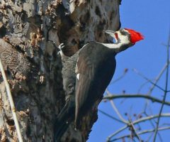 Pileated WoodPecker Larry Meade