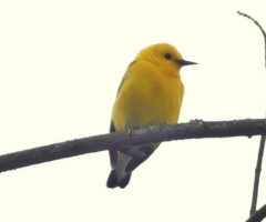 Prothonotary Warbler Ian Gale  Mar 2016 Huntley Meadows