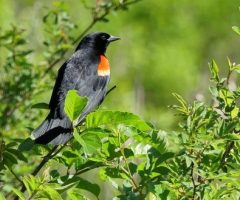 Red Wing Blackbird Ian Gale Mar 2016 Huntley Meadows Prk