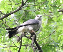 Adult, Male Mississippi Kite, Donald M. Sweig  Alexandria, Va. May 2017
