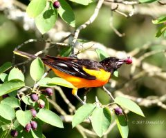 Male Baltimore Oriole, Note The Juice Streaming Down The Side Of The Bird. Donald M. Sweig Great Falls National Park, Md. May 2017