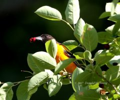 Baltimore Oriole Eating Berries. Donald M. Sweig, Great Falls National Park, Md. May 2017