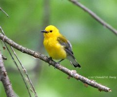 Male Prothonotary Warbler , Donald M. Sweig,  C&O Canal, Riley's Lock, Md