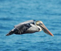 Brown Pelican, Outer Banks, February, 2009