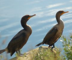 Double Crested Cormorants, Chincoteague, October 2015
