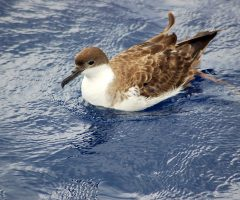 Greater Shearwater, Outer Banks, July 2012