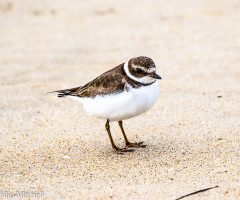 SemiPal,atedPlover3