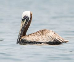 Brown Pelican Beth Fedorko 3 Great Wicomico River VA July 2015