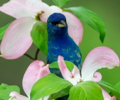 Indigo Bunting Falls Church April 2017