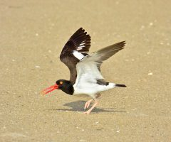 American Oystercatcher, Tom's Cove, Chincoteague NWR, 6/27/2018, Seth Honig