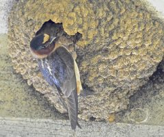 Cliff Swallow, Lock 6, C&O Canal, 6/29/2015, Seth Honig