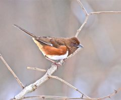Eastern Towhee (female), Mantua, Fairfax, 3/18/2014, Seth Honig