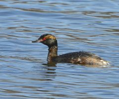 Horned Grebe, Burke Lake, 4/5/2015, Seth Honig