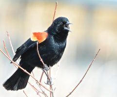 Red-winged Blackbird, Huntley Meadows Park, 3/13/2015, Seth Honig